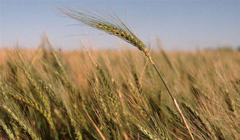 Por cuestiones comerciales, vuelve a crecer un poco la superficie de cebada en detrimento de la de trigo, y a su vez aumenta un poco la siembra de variedades forrajeras, aunque la mayor proporción de la superficie se sigue sembrando con las variedades Andreia y Overture que son las que se pueden comercializar sin contrato como cerveceras