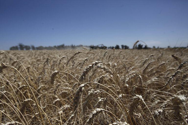 En momentos en los que falta trigo en el mundo, la Argentina producirá más