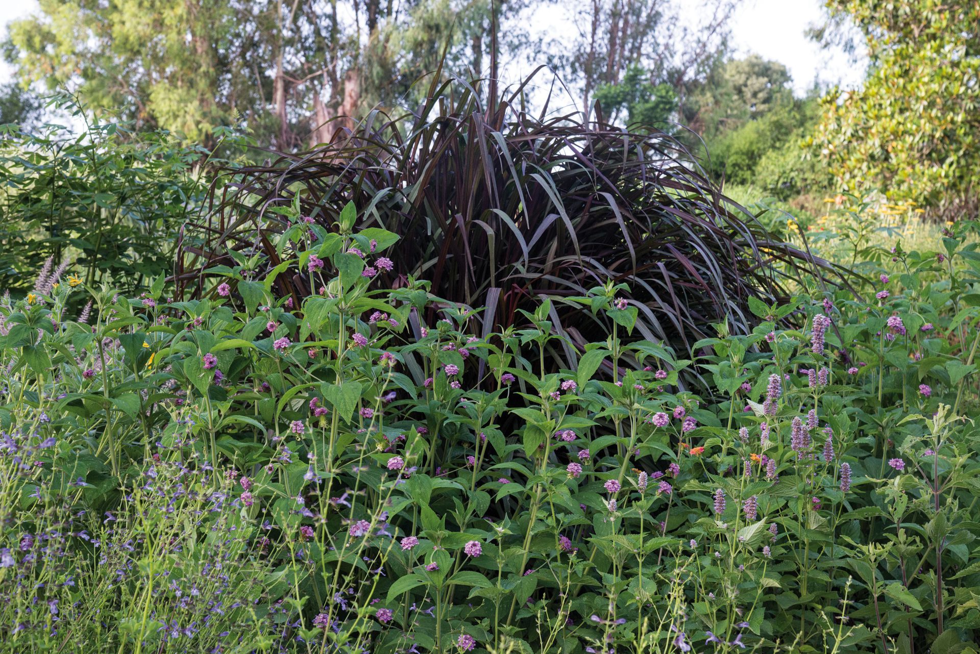 Combinacion de Pennisetum purpureum 'Majestic', Lantana trifolia y Agastache foeniculum.