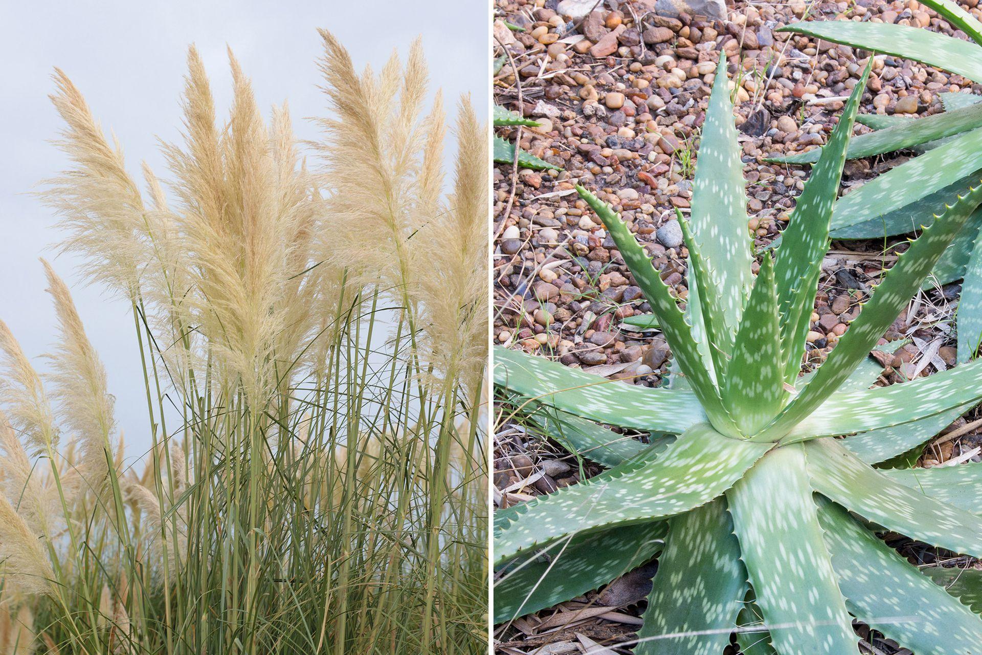 Cortadera (Cortadeira selloana), una planta nativa que alcanza los tres metros. El Aloe vera es una suculenta que llega a medir un metro de alto.
