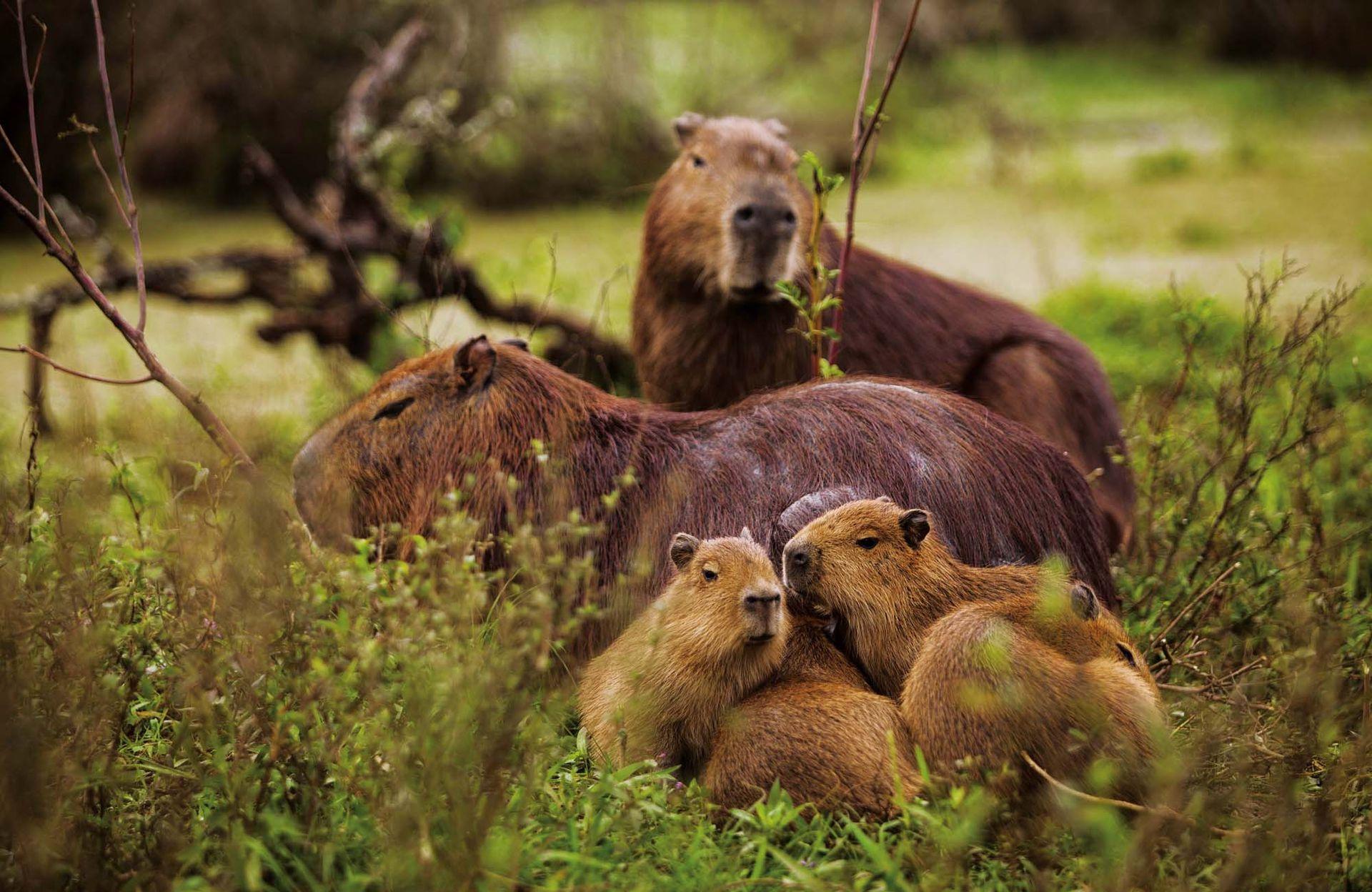 Familia de carpinchos.