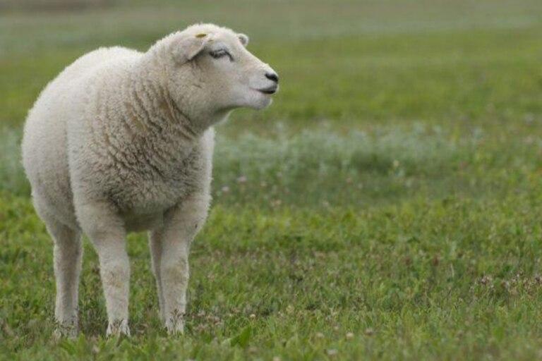 Bella es una oveja Texel que está tan convencida de que es un perro que hasta huye de las otras ovejas