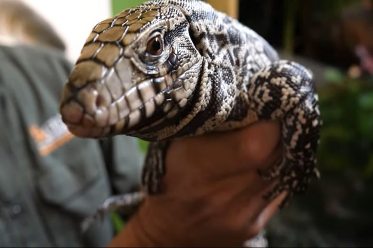 El lagarto overo es una especie típica de Sudamérica y pone en peligro a otras en varios lugares de EEUU