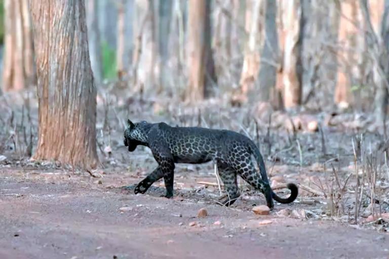 El leopardo negro fotografiado de perfil por una familia durante su primera salida de safari
