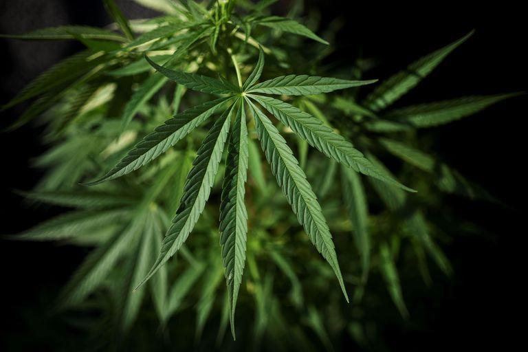 Ley de cannabis. Hay avances, pero los cultivadores dicen que los criminalizan