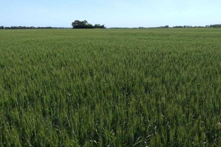 Manejo de trigo y cebada con lluvias escasas