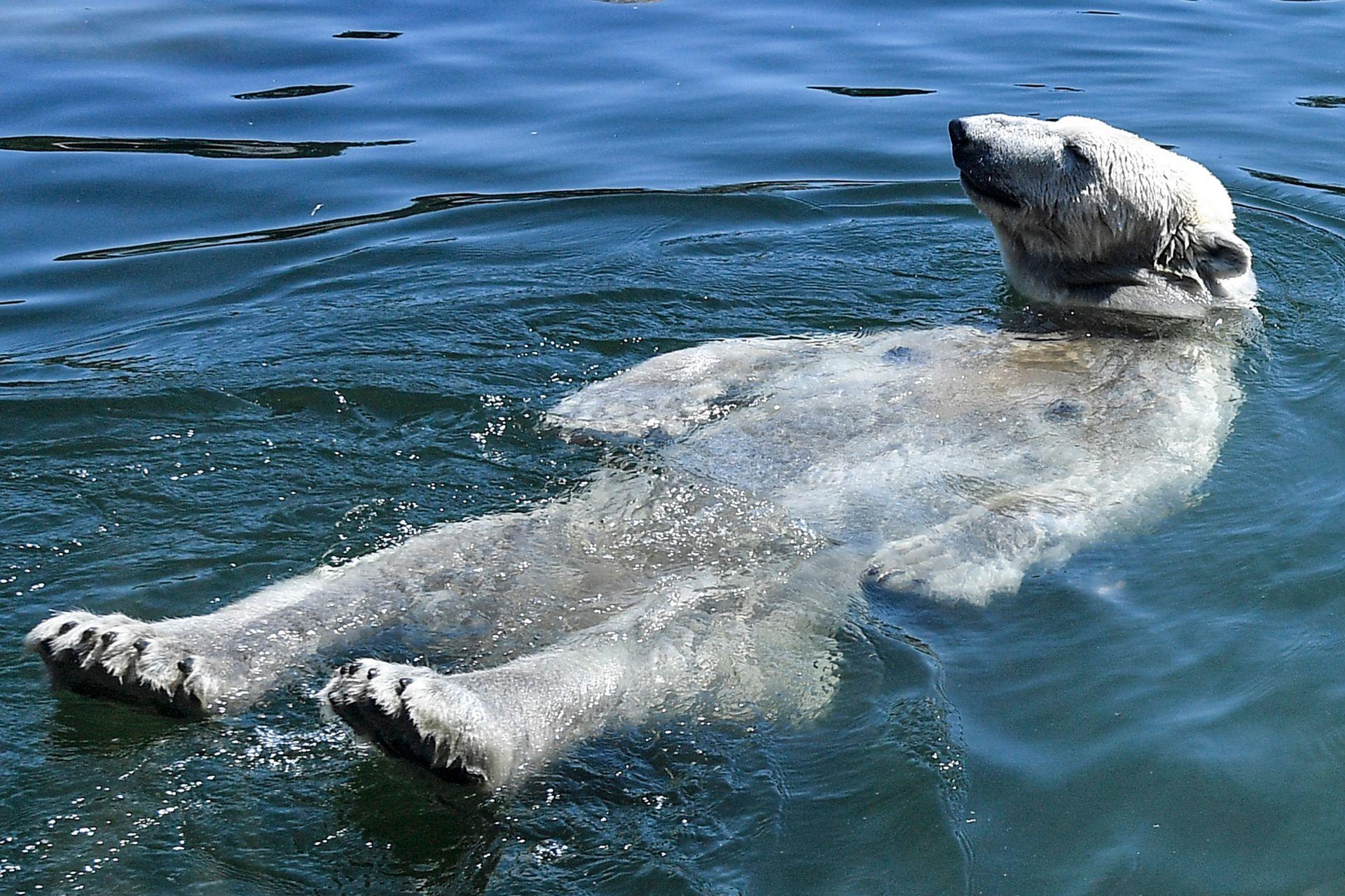 El oso polar Nanook toma un baño durante un caluroso verano en el zoológico de Gelsenkirchen, Alemania