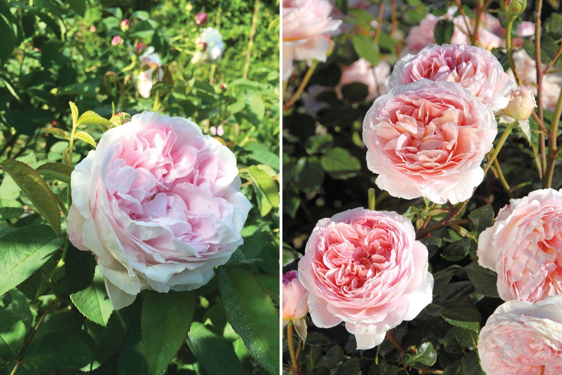 Las variedades 'Juno' (izquierda) y 'Abraham Darby' (derecha) son dos de las rosas preferidas por la dueña del jardín.
