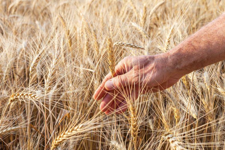 ¿Cómo obtener trigo y cebada de calidad especial?