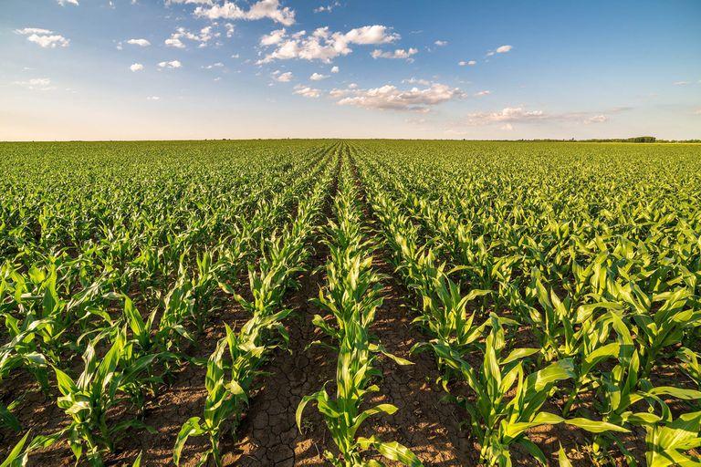 Maíz: resultados que revelan la importancia de una buena siembra