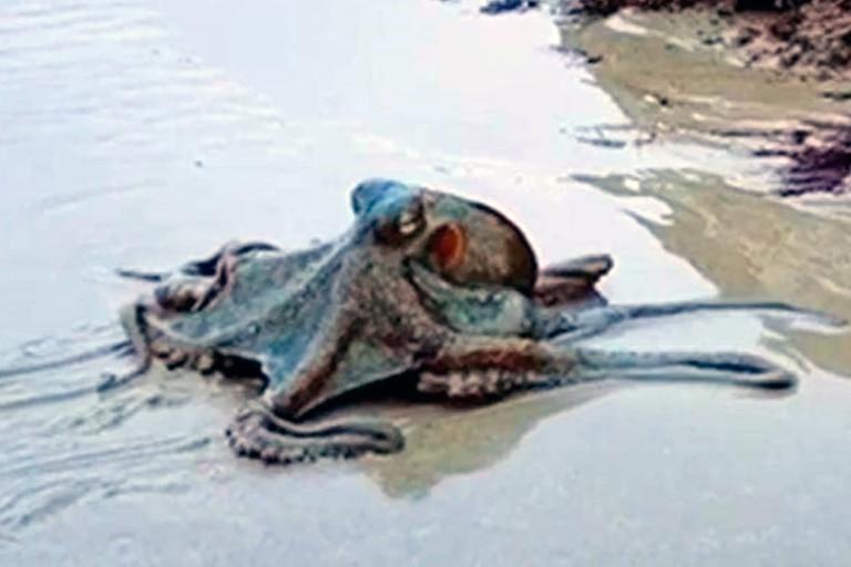 Australia: grabó a un pulpo gigante con tentáculos de 30 centímetros