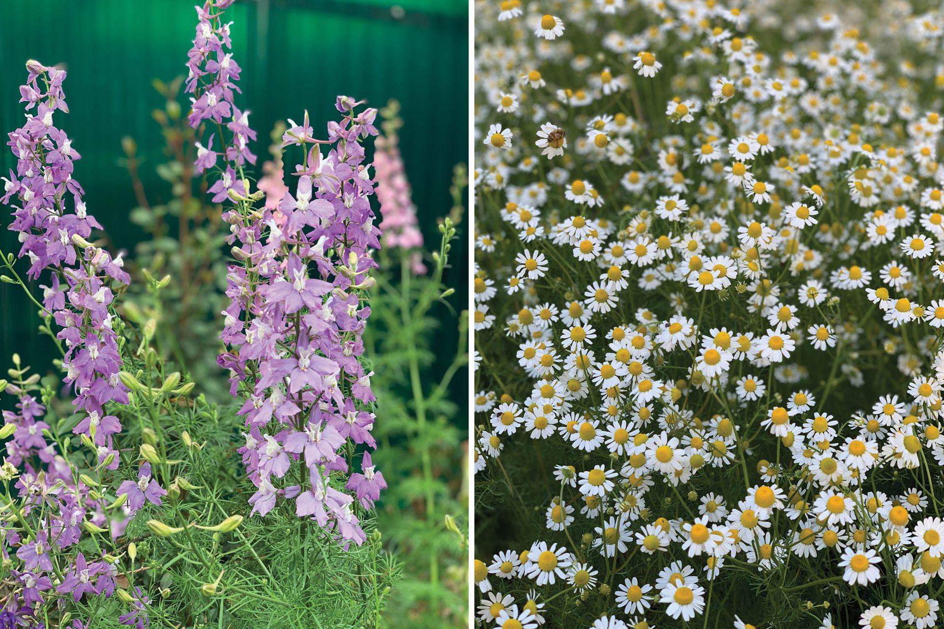 Dos especies de ciclo OIP, que se siembran en otoño y florecen en primavera. Consolida ajacis o espuela de caballero (izquierda) y Matricaria chamomilla o manzanilla (derecha).