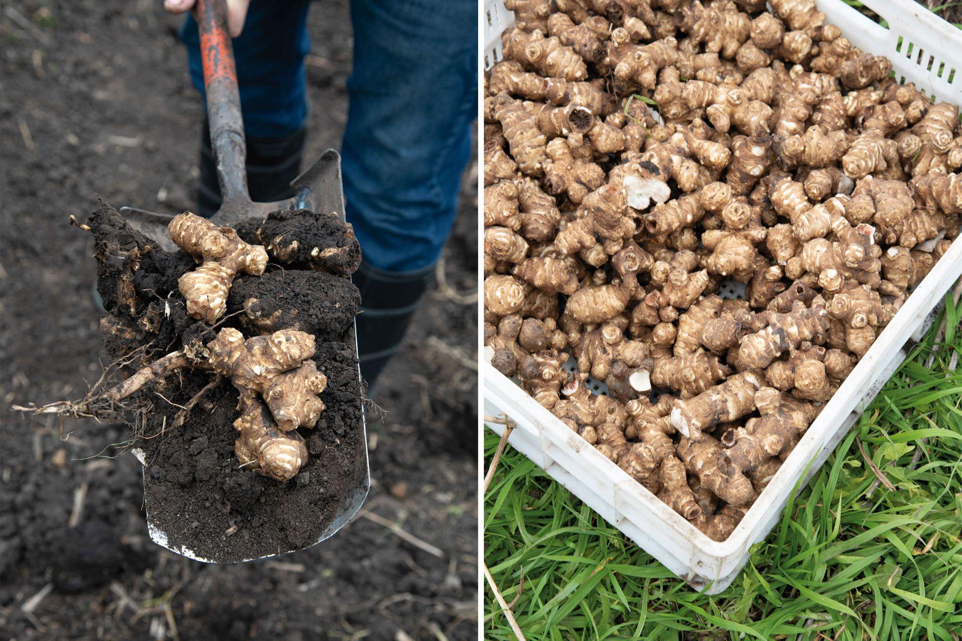 Los tubérculos de topinambur pueden cosecharse desde abril hasta octubre.  Lo ideal es conservarlos en tierra e ir cosechándolos a medida que se van consumiendo, pero también se pueden guardar en la heladera.