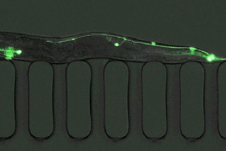 Los C. elegans producen más de 1.000 huevos al día, se pueden cultivar en grandes cantidades y los cultivos sanos se pueden congelar y luego descongelar y revivir cuando sea necesario