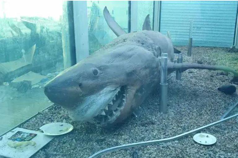 Rosie, un tiburón blanco de cinco metros de longitud, estaba en un tanque de formol en un parque acuático de Australia, fue vandalizado y ahora hay una campaña para restaurarlo