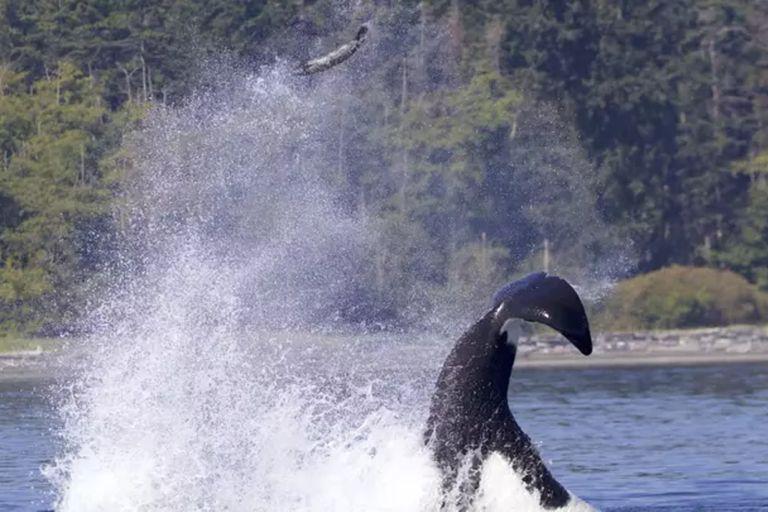 En un episodio poco frecuente, una balleza lanzó una foca por los aires