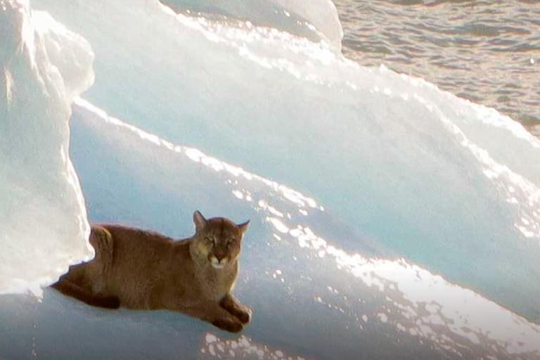 El puma grabado sobre el témpano de hielo en el Parque Nacional Los Glaciares