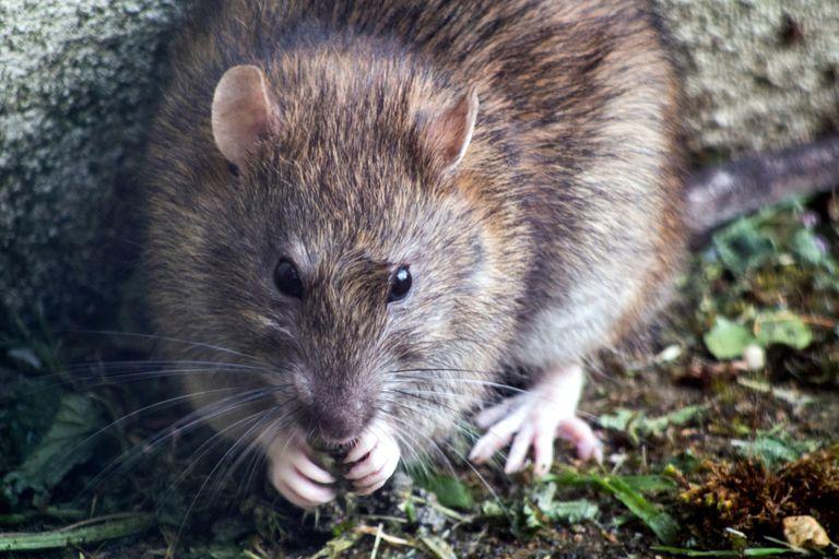 """Denunció que fue atacada por """"más de 100 ratas"""" cuando caminaba por un parque"""