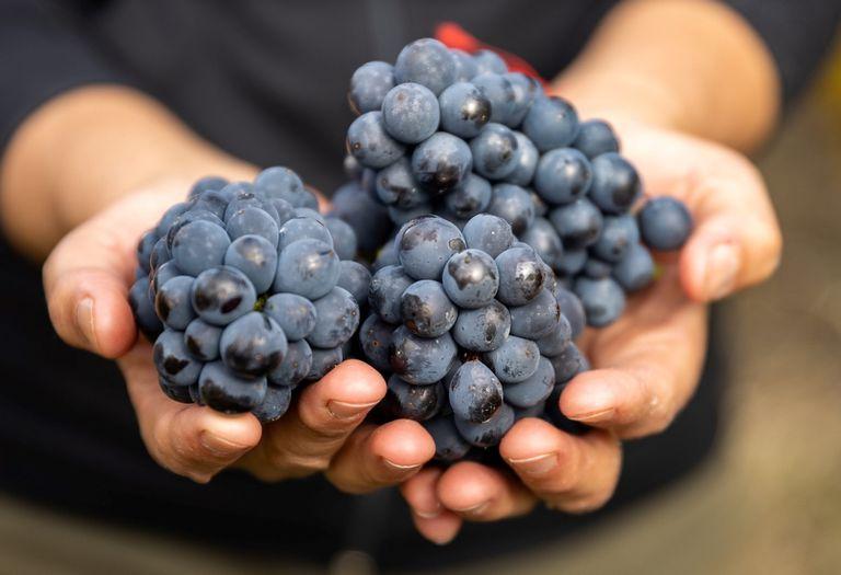 El país aprovechó problemas climáticos en el hemisferio norte y fue el destino que más pudo hacer crecer sus exportaciones vitivinícolas en lo que va del año, con un crecimiento de 35,7%