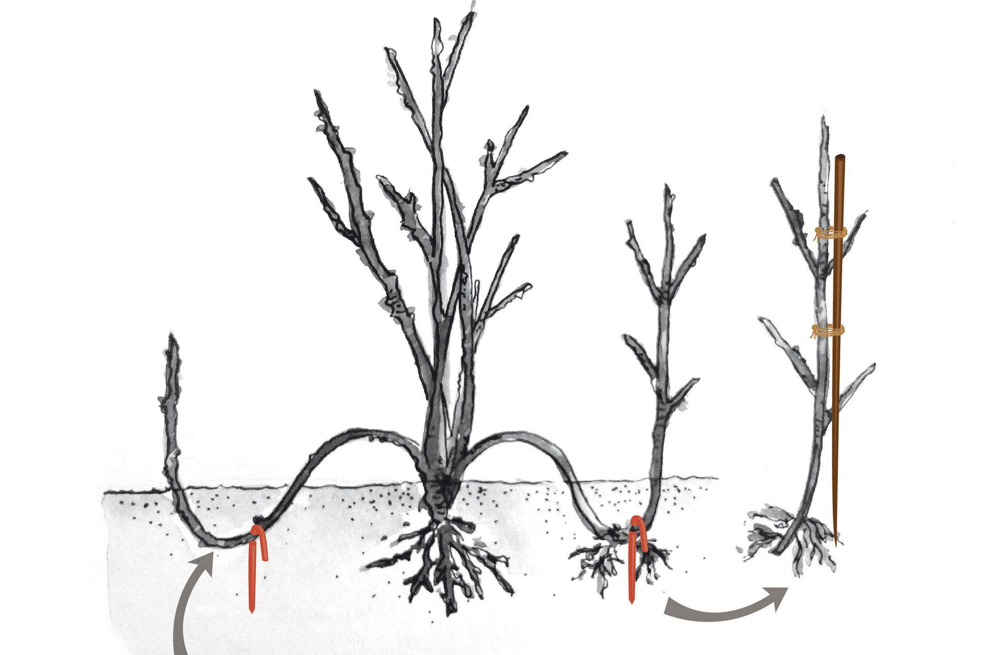 Se sujeta el codo con alambre o estaca de madera. Al colocar así la punta, esta se vuelve telescópica, desarrollando raíces rápidamente y emitiendo un brote vertical vigoroso en la primavera. En la primavera ya está enraizado y se separa de la planta.