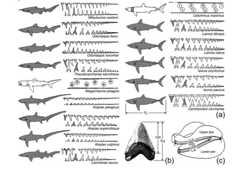 Los científicos estiman la extensión de las especies de tiburones según el estudio del tamaño y del tipo de los dientes hallados