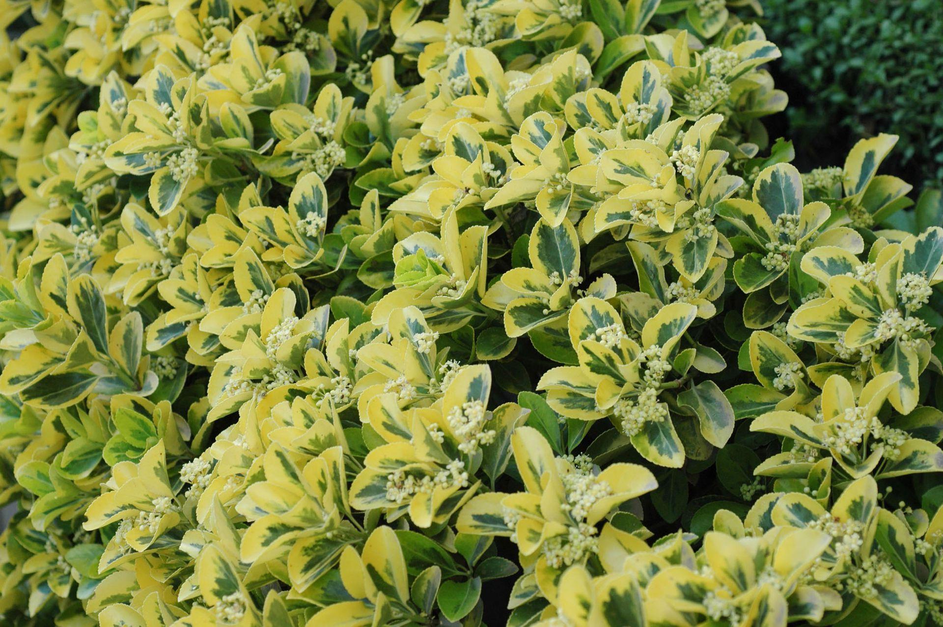 Evónimo, una planta muy rústica que difícilmente falla.