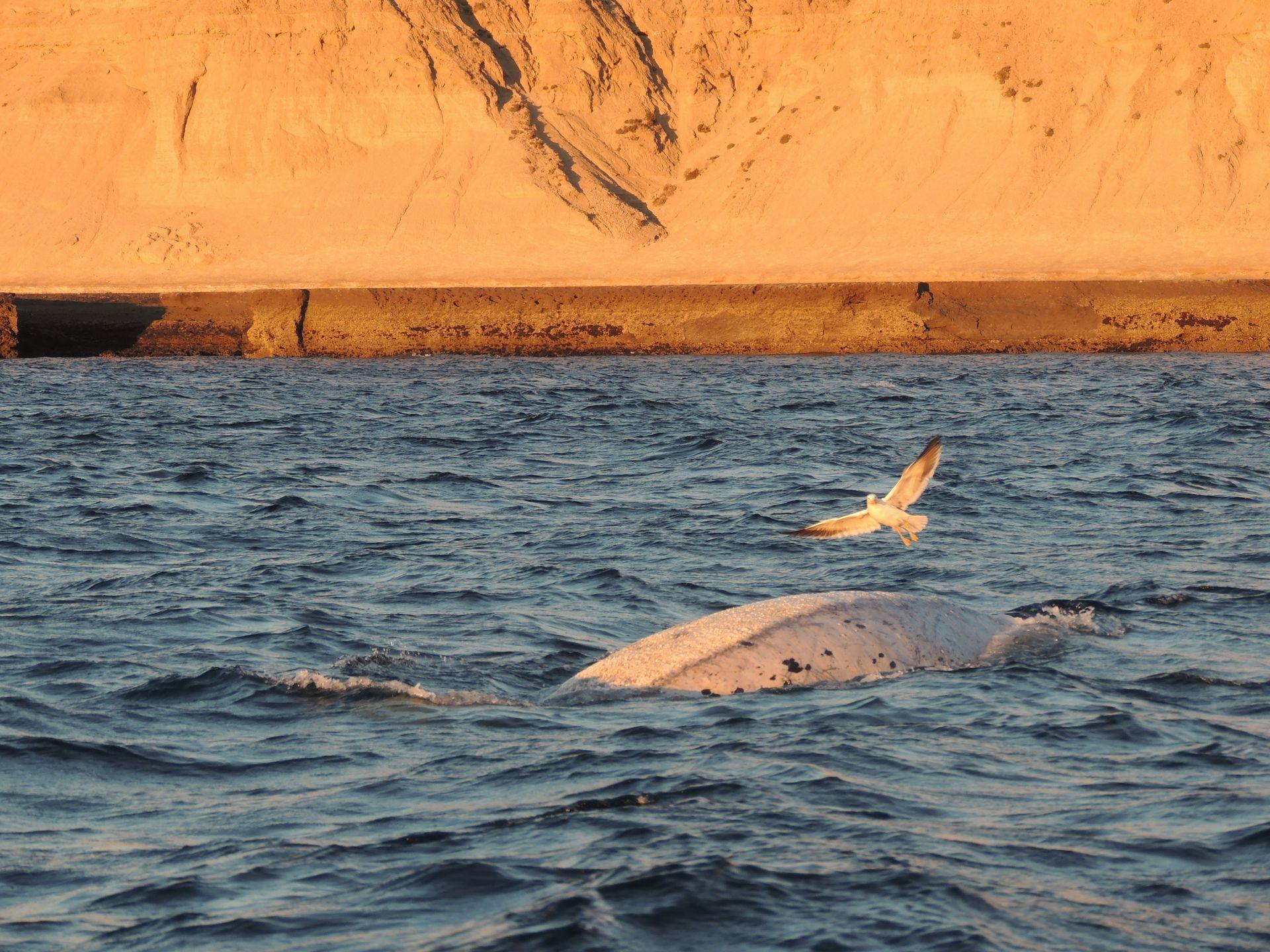 Las gaviotas se posan sobre la espalda de las ballenas, y con sus picos abren heridas y se alimentan de la piel, causándoles dolor.