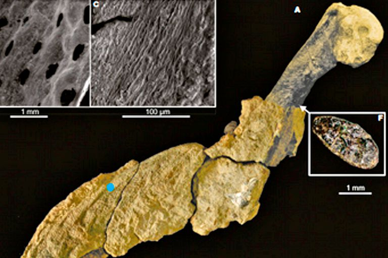 Antártida: descubrieron restos de piel fosilizada de un pingüino gigante