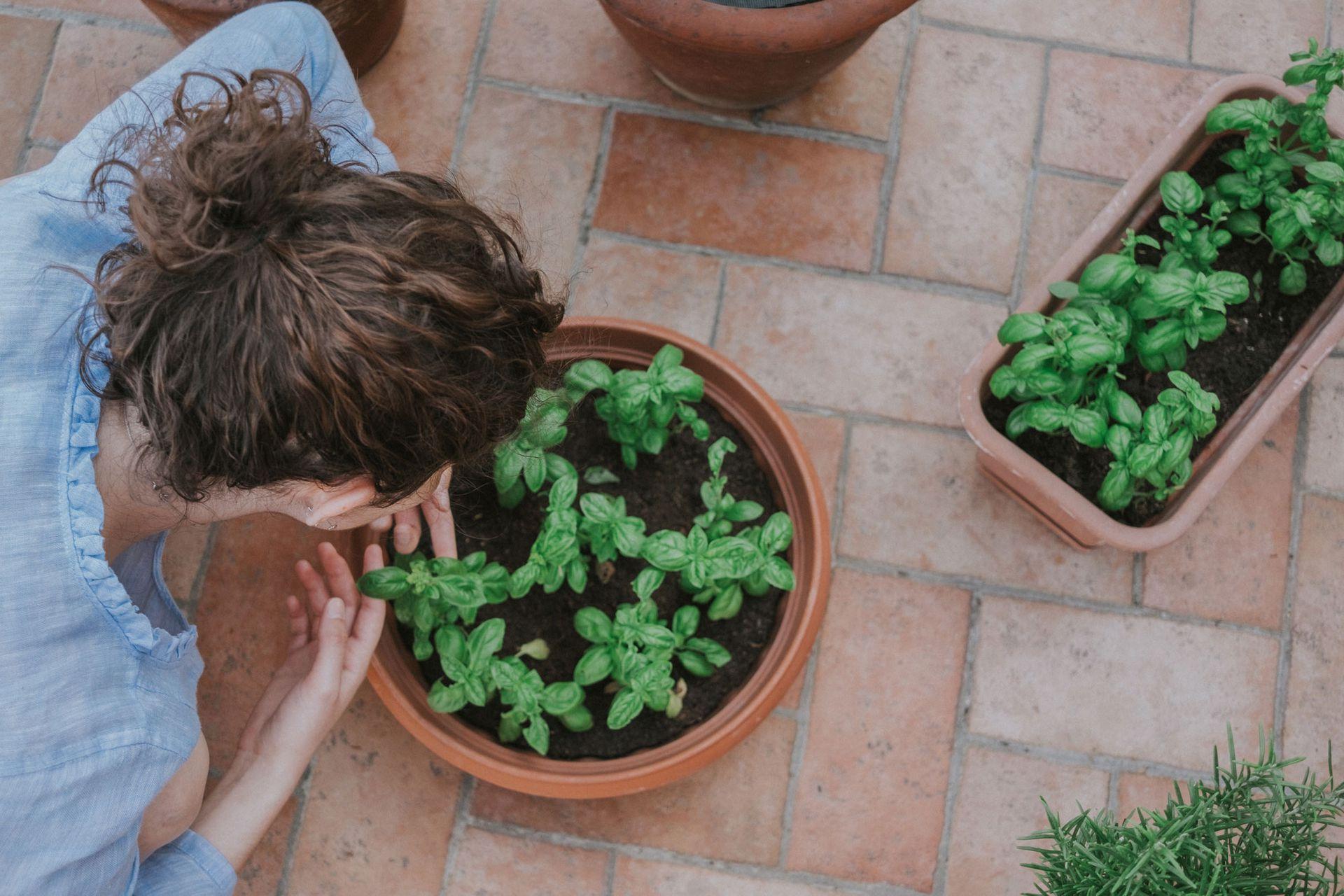 Albahaca. Una aromática que es preferible consumir fresca, ya que disecada pierde sus cualidades; recién cosechada, duplica su aroma y sabor.