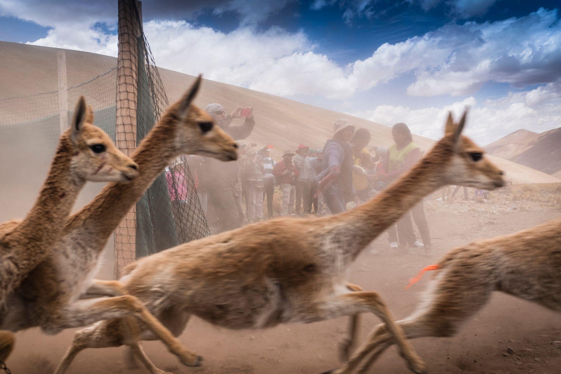 Las vicuñas a la carrera, ya esquiladas y en libertad.