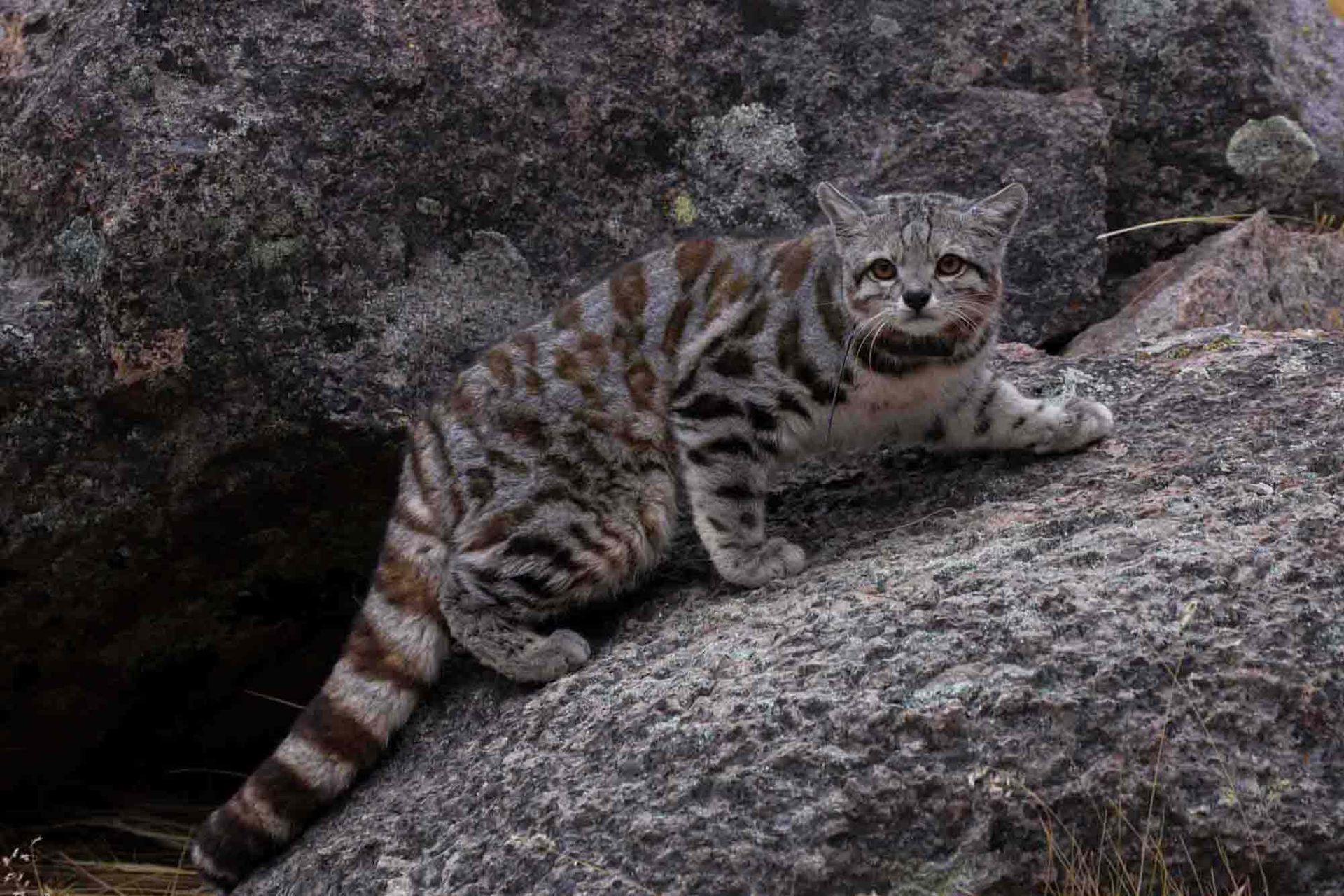 El misterioso Gato Andino es el felino más amenazado en del continente y está en riesgo de extinción.