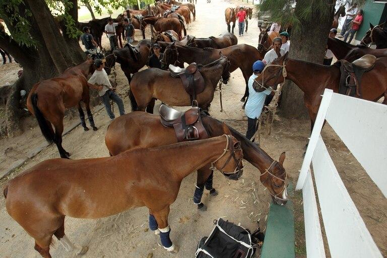 Exportación de caballos de polo.