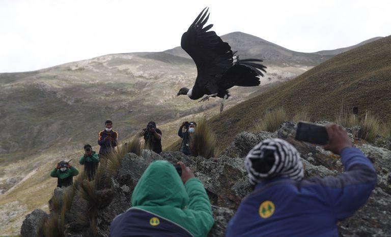 Científicos y periodistas ven la liberación de un cóndor andino por parte de veterinarios bolivianos en las afueras de Choquekhota, Bolivia, como parte de un programa gubernamental de conservación