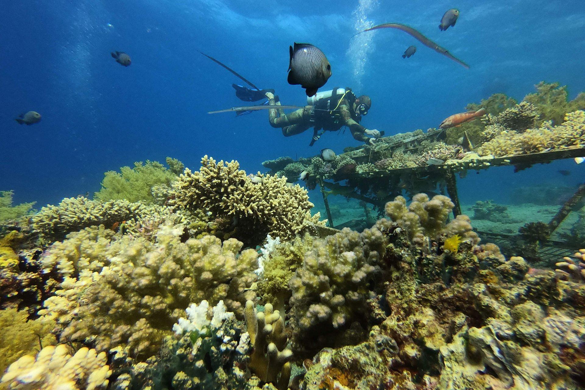 La Gran Barrera de Coral de Australia, incluida en el Patrimonio de la Humanidad de la Unesco, registró cuatro episodios graves de blanqueamiento en las dos últimas décadas