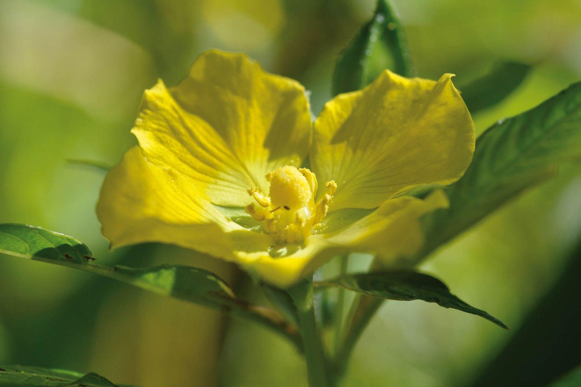Un duraznillo de agua (Ludwigia sp.), planta palustre que produce aceites como recompensa para los polinizadores.