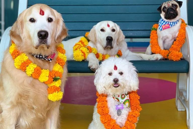 El festival festeja a las mascotas con guirnaldas de flores y una marca en la frente como símbolo de lo sagrado
