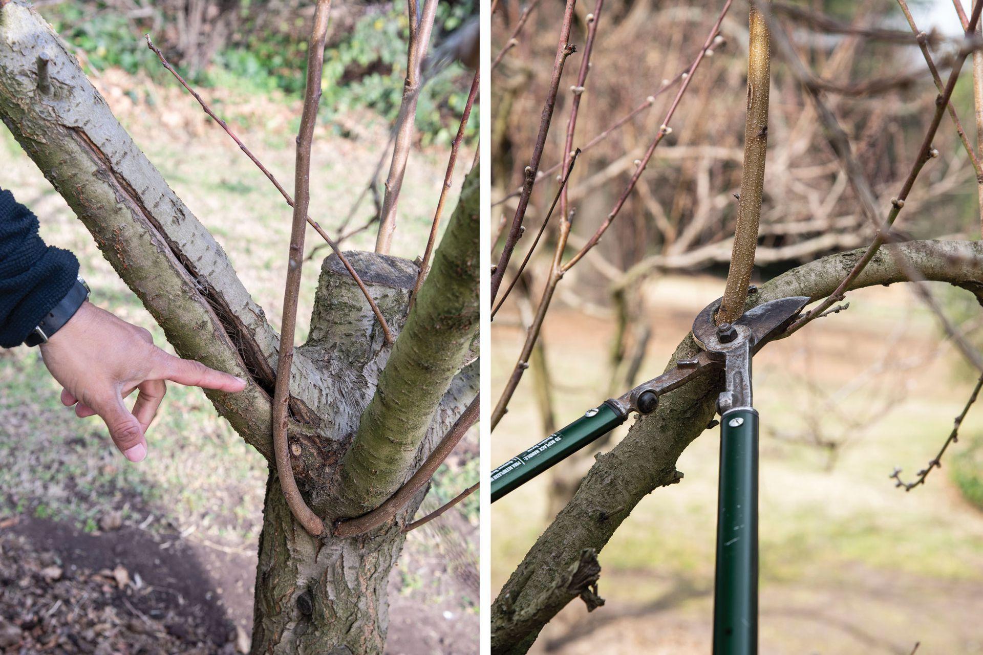 Izquierda: En algunos casos los chupones pueden reemplazar un brazo dañado o quebrado, por eso no siempre hay que eliminarlos. En este caso se dejará el chupón y se sacará la rama vieja. Derecha: aquí sí cortamos el chupón, ya que tenemos ramas fructíferas alrededor.