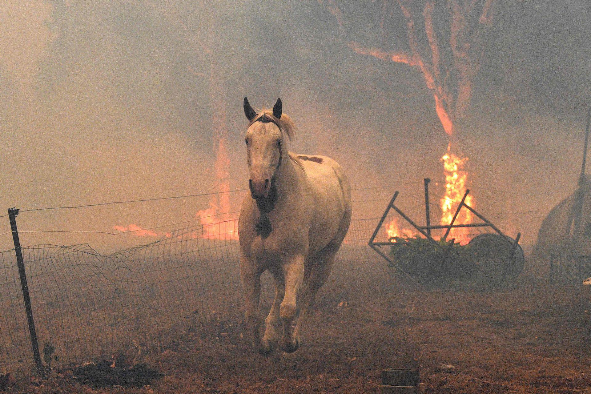 Un caballo trata de alejarse de los incendios forestales cercanos en una propiedad residencial cerca de la ciudad de Nowra en el estado australiano de Nueva Gales del Sur.