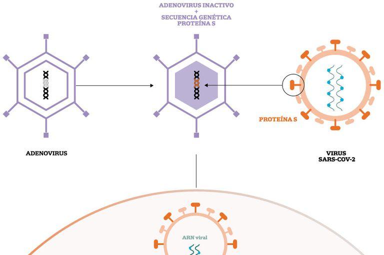 Paso por paso, las infografías de LA NACION muestran cómo actúan las distintas vacunas para generar inmunidad